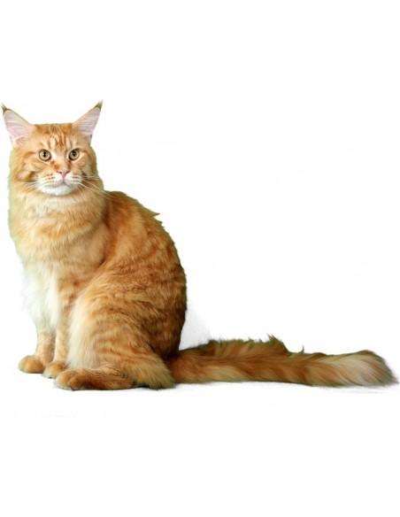 flauschige Katze sitzend, Schwanz zur Seite