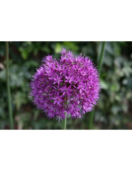 Allium Zierlauch Blume